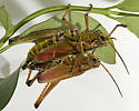 Mating Lubbers - Romalea microptera - male - female
