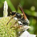 Tachytes wasp - Tachytes guatemalensis - female
