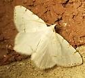 Patio Moth 2 - Macaria pustularia - male