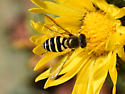Hoverfly 7309
