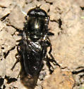 Unidentified fly or bee? - Cheilosia
