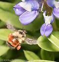 Mount Rainier Bumblebee - Bombus melanopygus - female