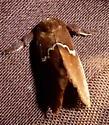 Slug Moth - Monoleuca semifascia
