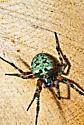 55 MM colorful Spider - Araneus bicentenarius
