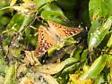 Hackberry Emperor also? - Asterocampa celtis
