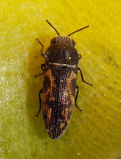 small Buprestidae - Acmaeodera neglecta