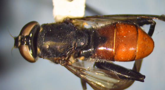 Syrphid - Chalcosyrphus piger