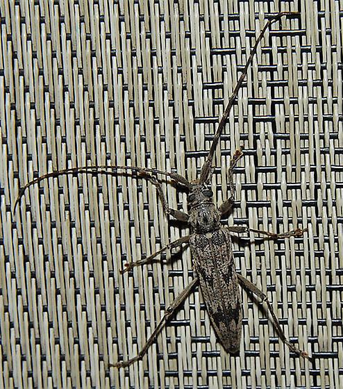 Longhorned Beetle - Elytrimitatrix undata