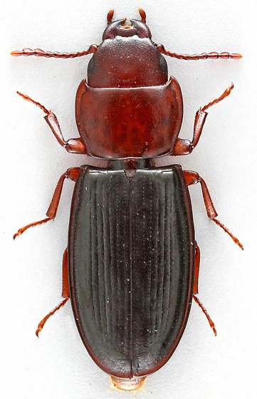Bark-gnawing Beetle - Tenebroides collaris