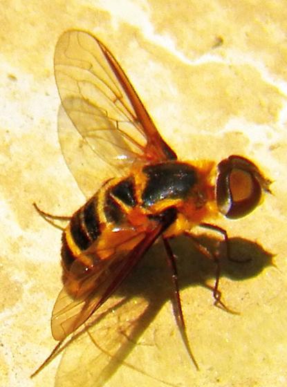 Syrphid fly 072713 - Villa