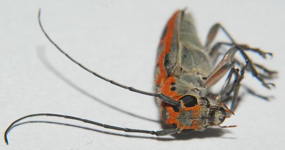 Lamiinae - Saperda tridentata