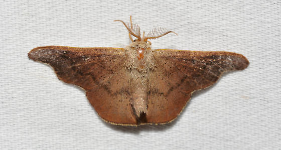 Lacosoma chiridota - male