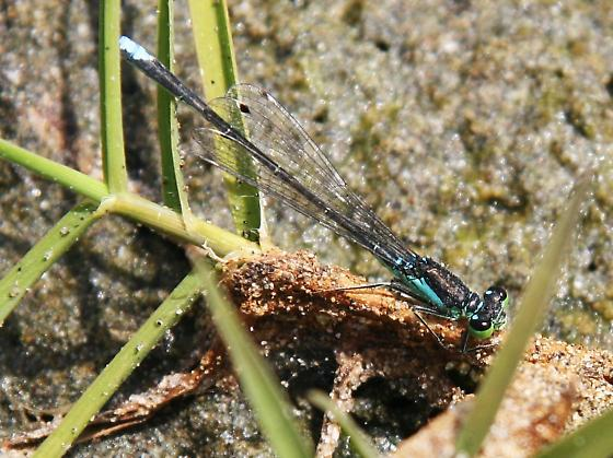 blue damsel with green eyes - Ischnura denticollis