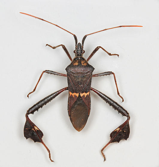 BG3143 F0153h - Leptoglossus zonatus - male