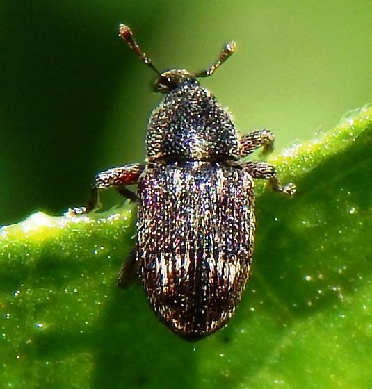 Small Curculionidae on squash leaf
