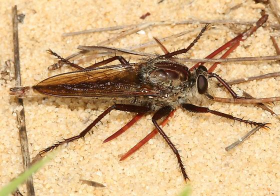Large Robber Fly - Proctacanthus brevipennis