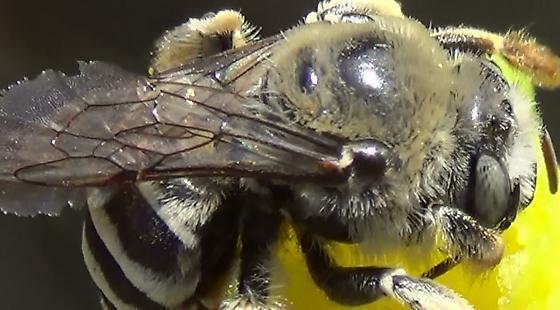 Chimney Bee - Needs Pollen - Diadasia - female