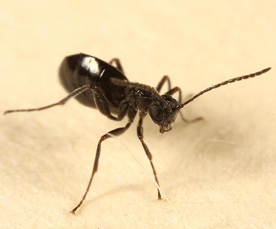 wingless wasp - female