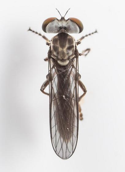 Robber Fly - Holcocephala calva