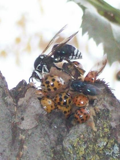 Baldfaced Hornet (Dolichovespula maculata) - Dolichovespula maculata