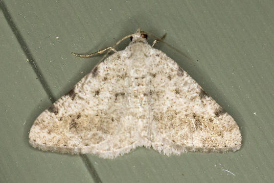 Possible Digrammia pallidata
