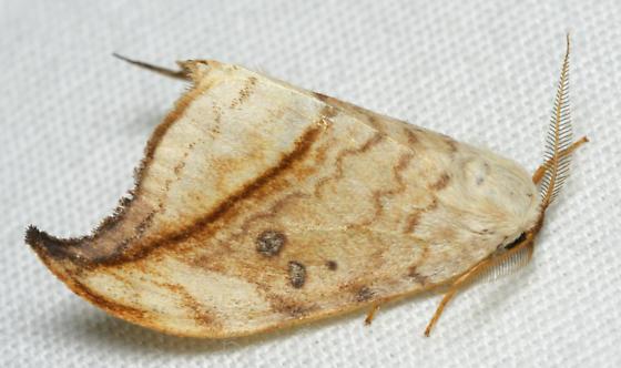 angle wing moth - Drepana arcuata - male