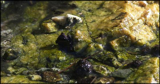 Hydroscapha redfordi Habitat - Hydroscapha redfordi