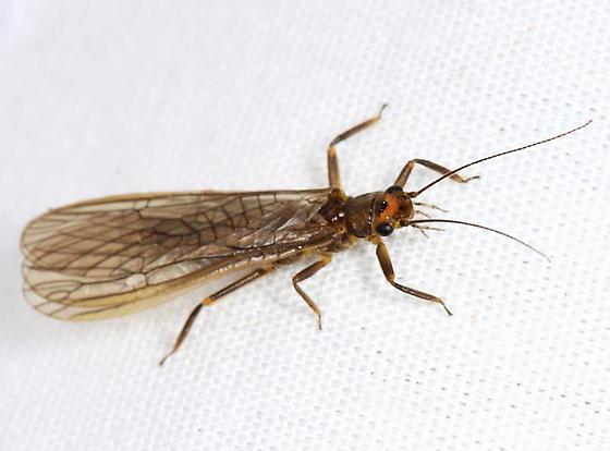 stonefly - Neoperla coosa