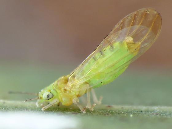 SGLP adult - Eucalyptolyma maideni - female