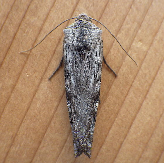 Noctuidae: Lithomoia germana - Lithomoia germana