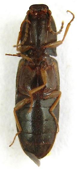Click Beetle - Elathous brevicornis