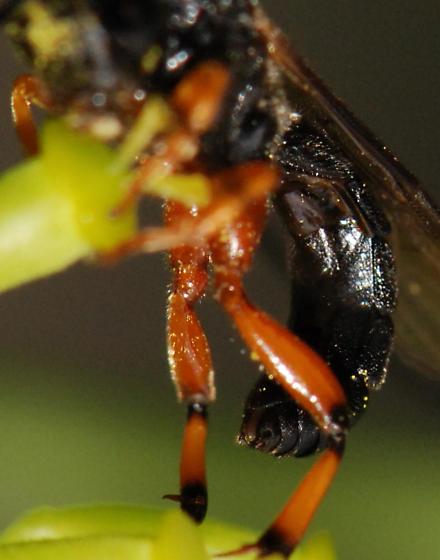 black and orange Ichneumon Wasp - Ichneumoninae