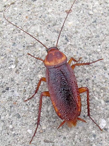 farmapest hamamböceği resimleri ile ilgili görsel sonucu