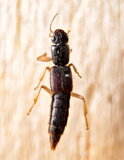 Rove beetle - Pinophilus