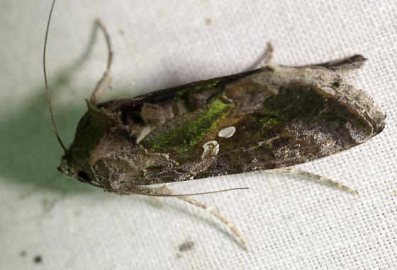 Plusiinae - Chrysodeixis includens