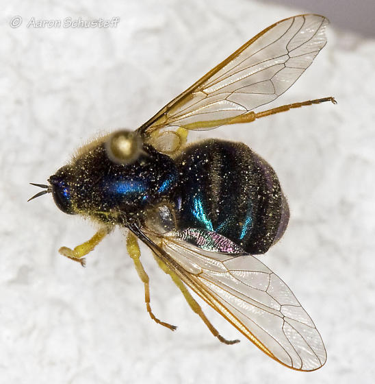Eulonchus cf. sapphirinus - Eulonchus sapphirinus