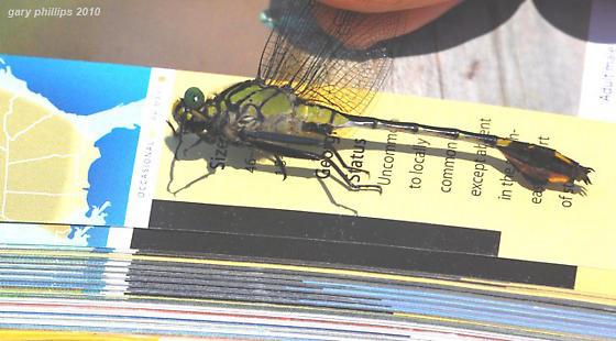 Blackwater Clubtail - Gomphurus dilatatus