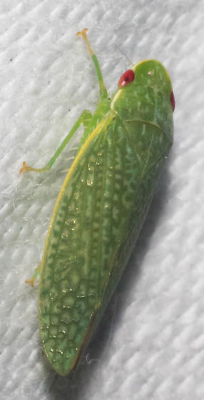 Yellow-costaed green leafhopper - Rugosana querci