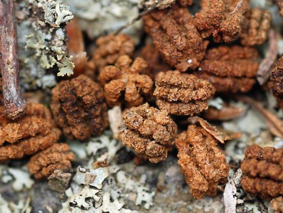 frass of gypsy moth caterpillar - Lymantria dispar