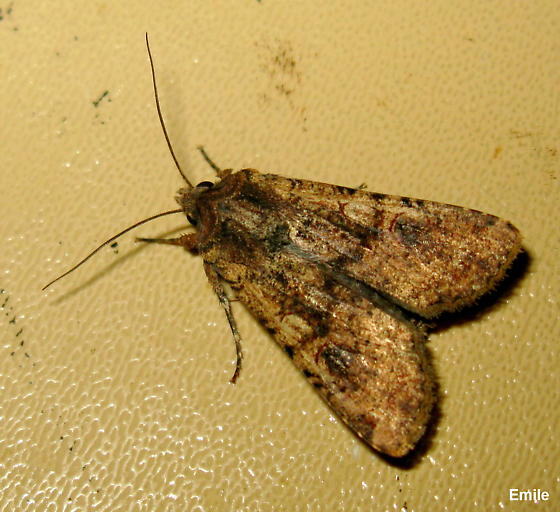 light- & dark-brown patterned Noctuid Moth with blackish circle on forewing, capped with reddish crescent - Peridroma saucia