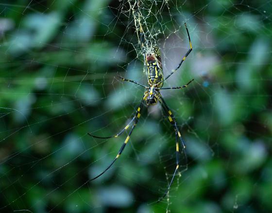 Large yellow and black spider - Trichonephila clavata