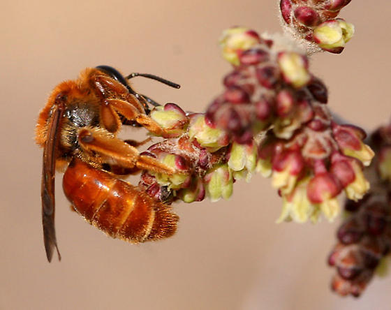 red bee - Andrena jessicae - female