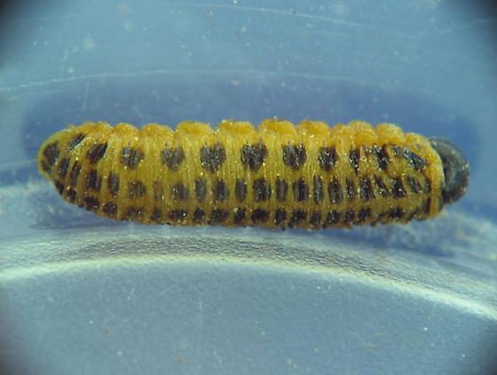 sawfly larva in fungus-infested tree - Macremphytus testaceus