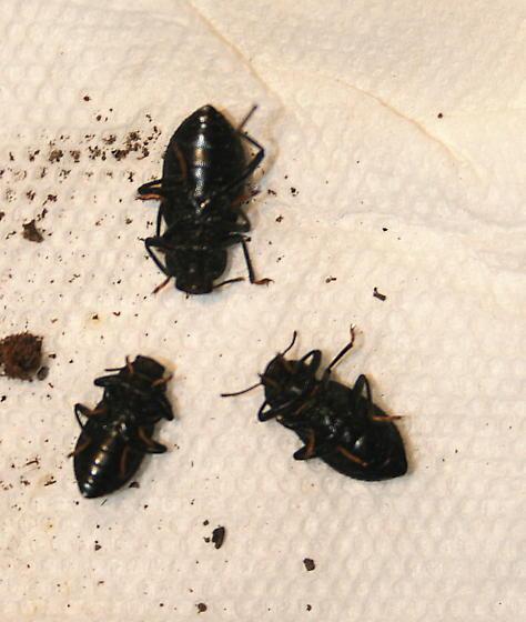 Black beetle under pine bark - Cibdelis blaschkei