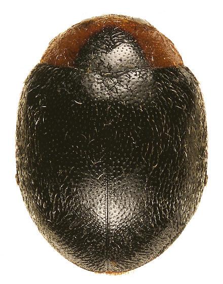 Scymnus caudalis