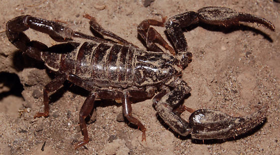 Dark brown scorpion - Diplocentrus whitei