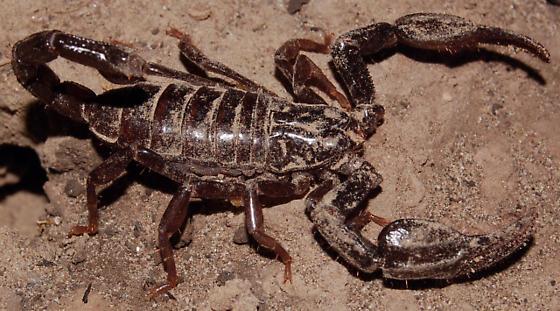 Dark brown scorpion - Diplocentrus whitei