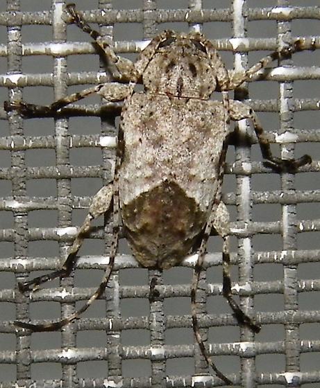 Tribe Acanthocinini - Styloleptus biustus