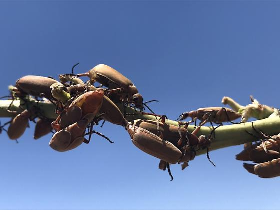 Aggregation of blister beetles