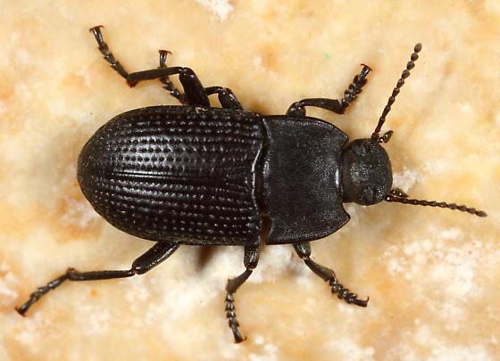 Tenebrionid - Alaetrinus minimus